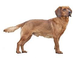Anjing Ras Tyrolean Hound