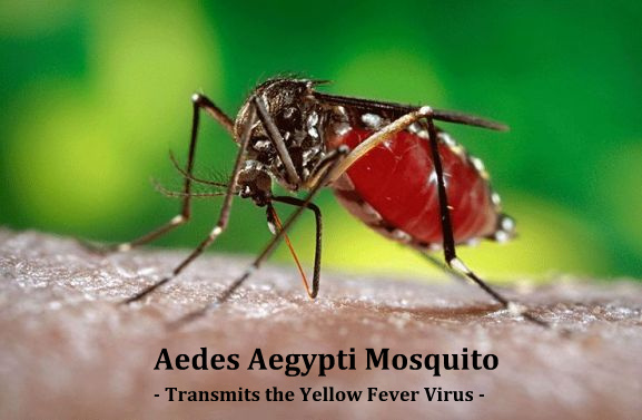 Aedes Aegypti Mosquito - Transmits Yellow Fever Virus