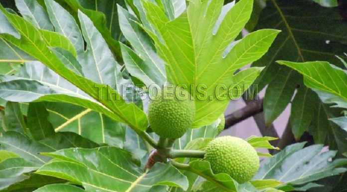 Diabetes, uric acid, kidney, heart and Lever disease can be cured with breadfruit leaves