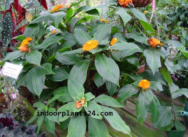 Chamaecostus cuspidatus indoor house plant