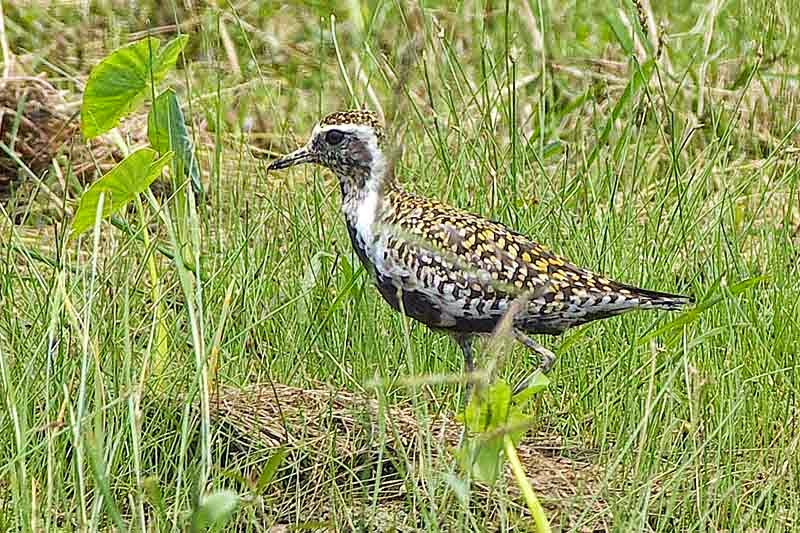 bird, Golden Plover, field