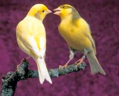 Cara Memebedakan Burung Kenari Jantan dan Betina
