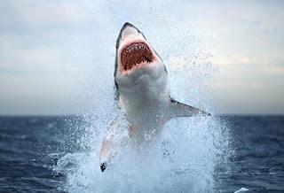Τριάντα πέντε διαφορετικά είδη καρχαριών καταγράφηκαν σε ελληνικά νερά