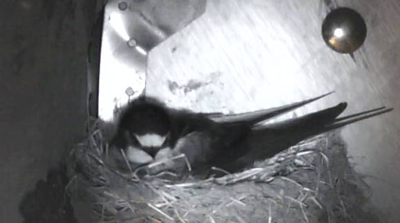 Image: Mrs Swallow sitting on eggs on the HenSafe Smallholding