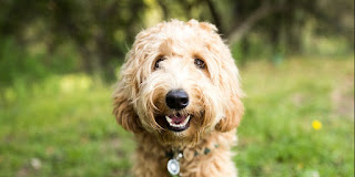 Best low shedding dogs with best temperament