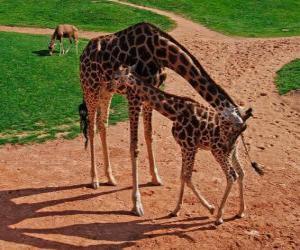 Zürafa Özellikleri