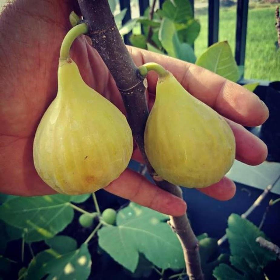 Bibit buah Tin buah Ara unggul jenis LDA lonjong ukuran jumbo Kalimantan Timur