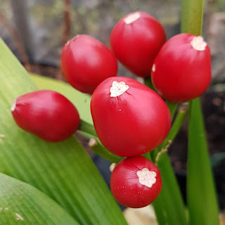 Clivia berries in the greenhouse at home