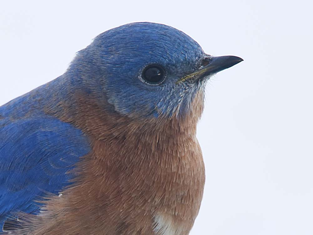 Bluebird head closeup by Jeanne Selep