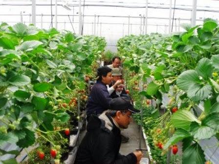 Kusuma Agrowisata Batu Malang, Petik Apel Sendiri Sepuasnya