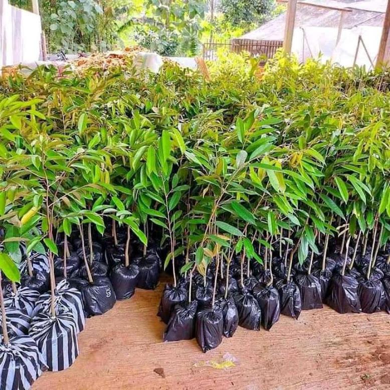 Bibit Tanaman Durian Duri Hitam Unggul Cepat Berbuah Super Murah Sumatra Barat