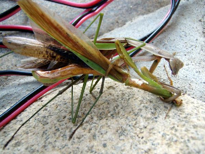what do praying mantis do to humans