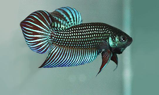 Ikan Cupang Spesies Betta Smaragdina Jantan