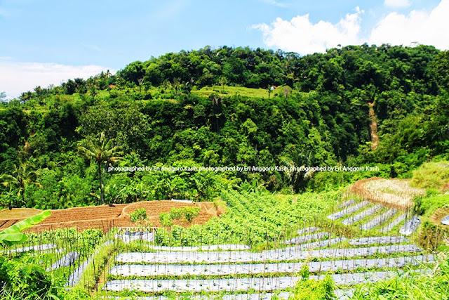 Kebun hortikultur ditutup mulsa untuk mengurangi pencucian hara