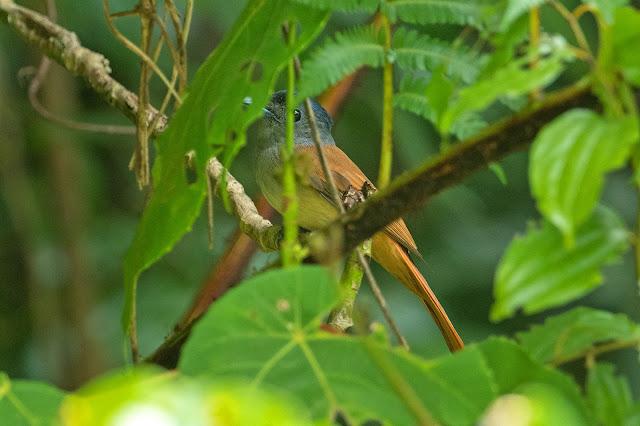 Amur Paradise-Flycatcher - Image by Aseem Kothiala