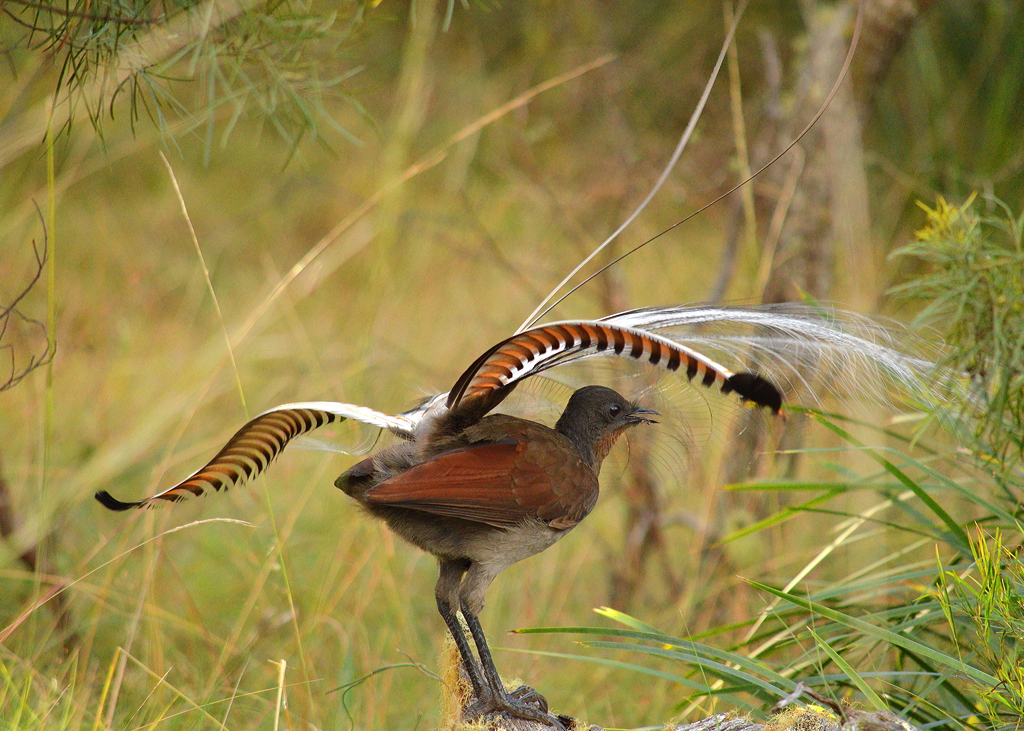 The Australian lyrebird, with its beautiful lyre-shaped tail.