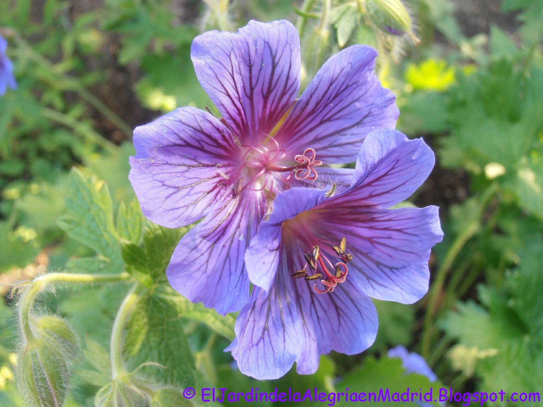 El jard n de la alegr a geranium x magnificum azul violeta for El jardin de la alegria cordoba