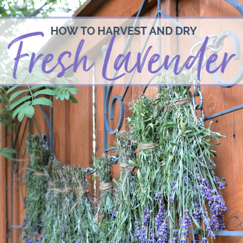 How To Harvest And Dry Lavender