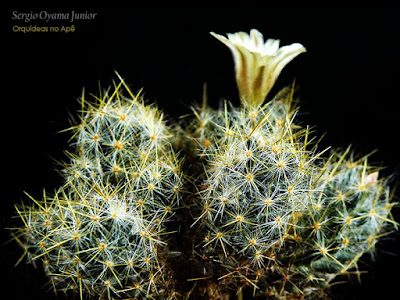 Cacto Mammillaria prolifera