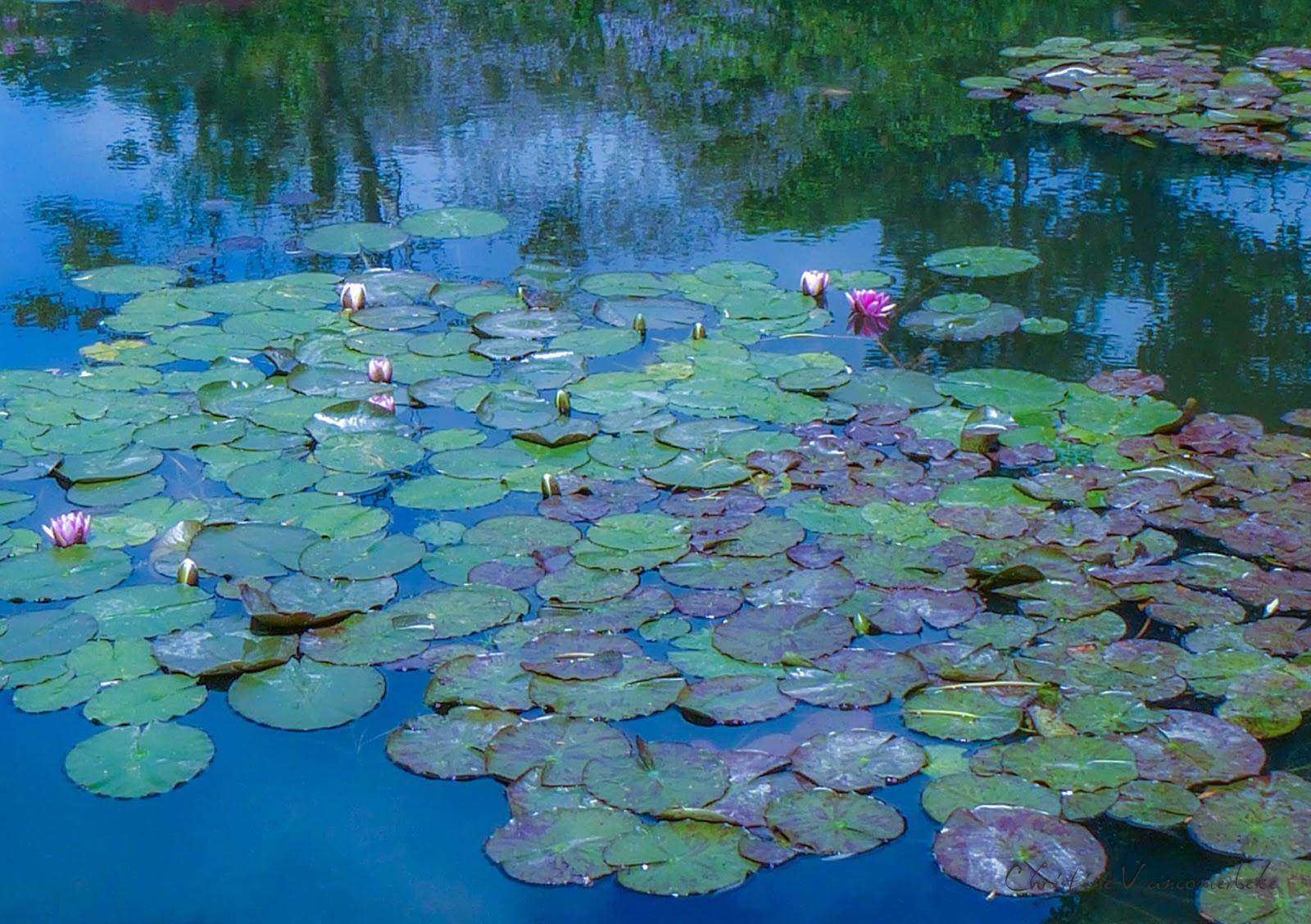 nymphéas de Monet à Giverny