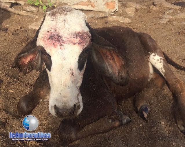 Populares pedem socorro aos órgãos competentes da Prefeitura para resgate de cães que estão matando animais no bairro Alto São Severino em Caraúbas