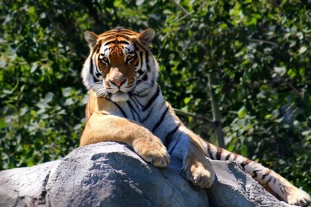 70 Crazy Facts About Tiger