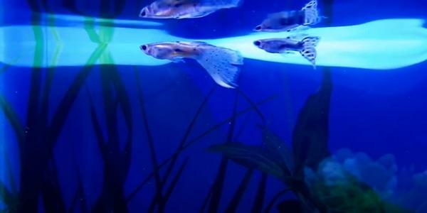 Aquarium Filter for Swordtail / Molly / Platy / Guppy Fish