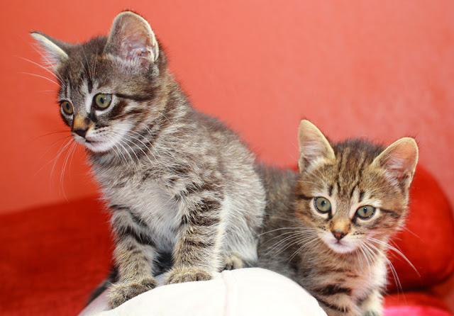 What age should you neuter your kitten? There are several reasons for early spay/neuter as this article shows. Photo shows two cute kittens