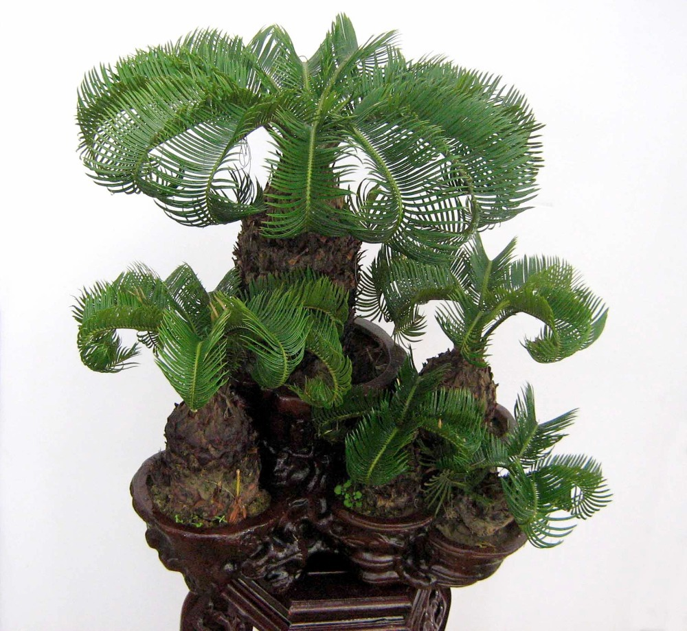 Little Dreams Of Us Money Tree Bonsai