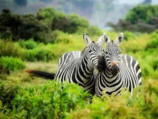 Facts of Zebra #2