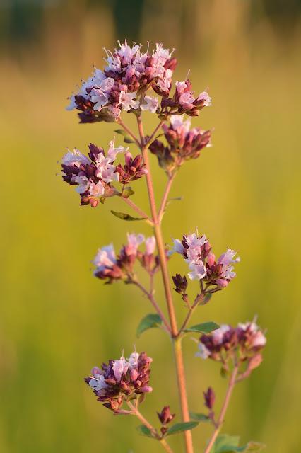 A stem of oregano flowers