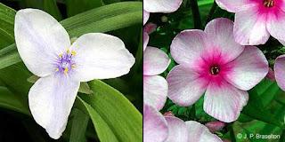 contoh bunga dikotil
