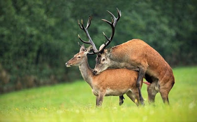 kako-se-jebu-pornici-zivotinje-u-prirodi-veliki-crveni-kurac-jeleni-parenje-slike-plodjenja-zenke