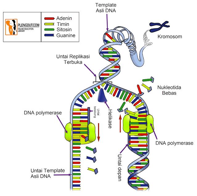C-G-A-T (Cytosine, Guanine, Adenine, Thymin) DNA akan terbuka layaknya sebuah ritsleting selama terjadinya proses replikasi. Pada proses replikasi DNA, dua untai heliks ganda akan dipisahkan (terbuka) dan untai DNA pelengkap baru disintesis dari untai induk.   Selama transkripsi DNA saat terbuka, satu untai DNA, yang dikenal sebagai untai cetakan, ditranskripsikan (disalin) menjadi untai mRNA.   Agar dua untai DNA terpisah dan terbuka, ikatan hidrogen antara basa nitrogen harus diputuskan. Helikase DNA bertugas memutus ikatan tersebut.   Namun, enzim tersebut tidak benar-benar melepaskan DNA; ada protein khusus yang pertama kali memisahkan untaian DNA di situs tertentu pada kromosom. Protein ini disebut protein inisiator.   Apa yang dibutuhkan untuk replikasi DNA?  Replikasi DNA adalah proses kompleks yang membutuhkan lebih dari selusin enzim, nukleotida, dan energi. Dalam sel eukariotik ada beberapa situs lokasi yang disebut asal replikasi; di situs ini, enzim melepaskan heliks dengan memutus ikatan rangkap antara basa nitrogen.   Setelah molekul terbuka, untaian terpisah DNA kemudian akan dijaga agar tidak bergabung kembali (tetap terbuka) dengan protein penstabil DNA. Molekul DNA polimerase membaca urutan dalam untai yang disalin dan mengkatalisis penambahan basa komplementer untuk membentuk untai baru. (Red: Fikri-Plengdut.com)