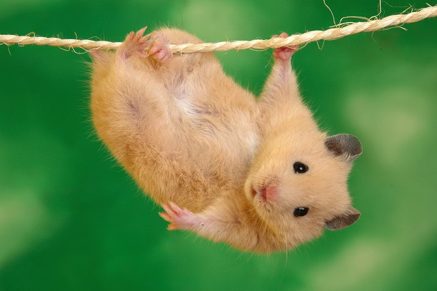hamster lucu, jenis hamster, hamster paling mahal, makanan hamster, jenis hamster yang jinak, kandang hamster, jenis hamster mata merah, jenis hamster winter white, hamster campbell, funny hamster meme, funny hamster names, my funny hamster, funny hamster wheel videos, funny hamster videos 2020, hamsters cute tv, hamster maze, major hamster