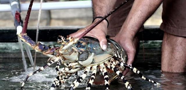 Ironis! Vietnam Belajar Lobster, Padi dan Patin dari RI, Kini Terbaik di Asia Tenggara