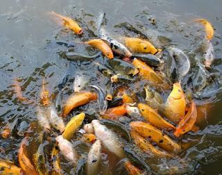 cara budidaya ikan air tawar download,cara budidaya ikan air tawar cepat panen,proses cara budidaya ikan air tawar,cara budidaya ikan air tawar kolam terpal,budidaya ikan air tawar di lahan sempit,