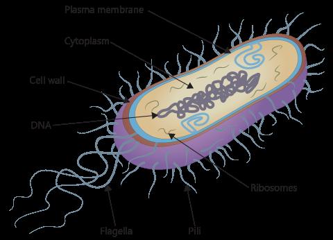 Bacillus Shaped Bacteria
