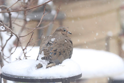 "This picture is the third of three atop this entry that features a Mourning dove sitting atop of snow.  Many snowflakes have landed on his back. This bird type is featured in my three volume book series, ""Words In Our Beak."" Info re the books can be found in another post on this blog @ https://www.thelastleafgardener.com/2018/10/one-sheet-book-series-info.html"