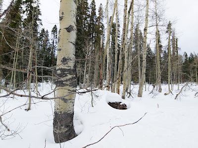 Same aspen trees in the snow, side view