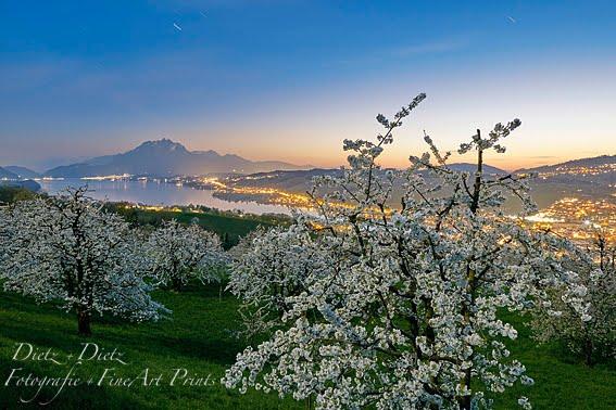 Blühende Kirschbäume, Küssnacht (SZ) - 07.04.2017