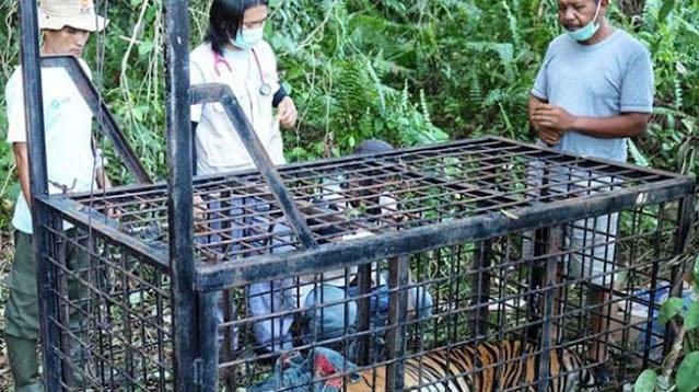 Sempat Bikin Geger, Harimau Mangsa Remaja di Siak Akhirnya Tertangkap