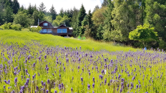 Fielfs of purple at a Salt Spring Island lavender farm...