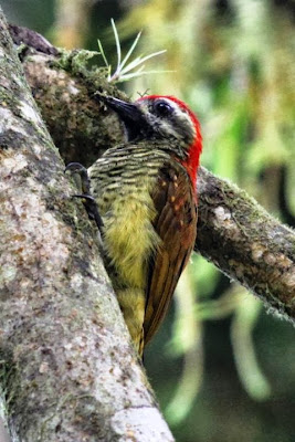 Yellow vented Woodpecker