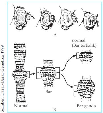 Mutasi kromosom plengdut mata drosophilla melanogaster ccuart Images