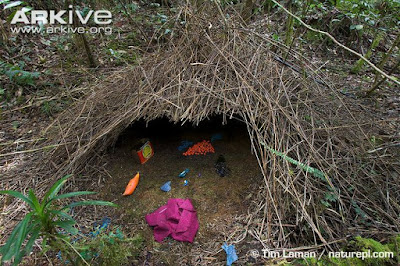 Bower of Vogelkop Bowerbird
