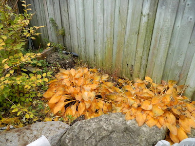 Bedford Park Toronto Fall Cleanup Before by Paul Jung Gardening Services--a Toronto Organic Gardener
