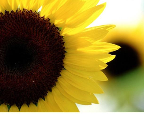 Sunflower-Wallpaper 2