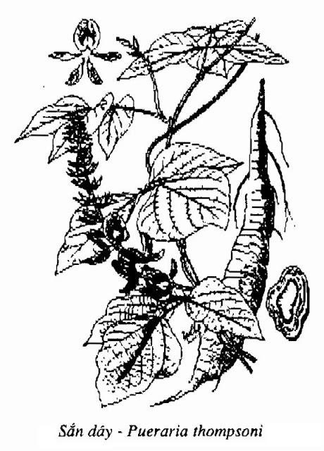 Hình vẽ Sắn Dây - Pueraria thomsoni - Nguyên liệu làm thuốc Chữa Cảm Sốt