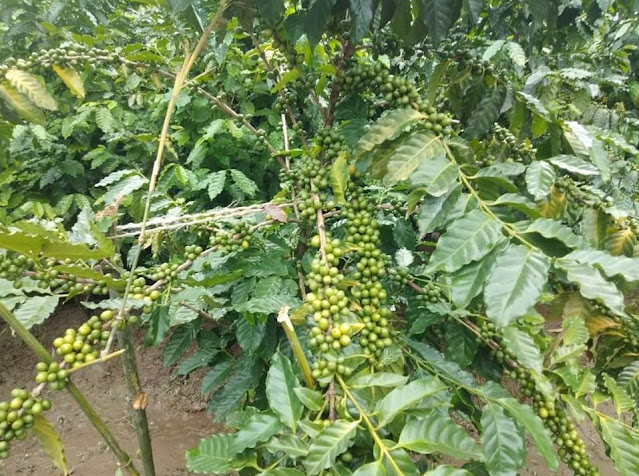 Coffee cultivation shows promise in North Bengal